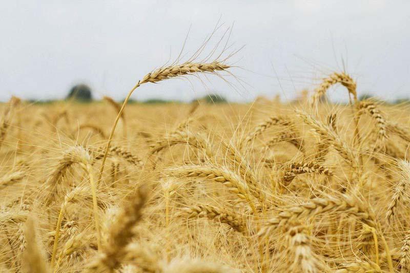 Irã não precisa importar trigo