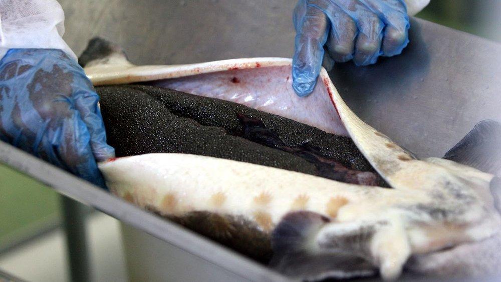 O Irã planeja produzir 10 toneladas de caviar anualmente até 2021