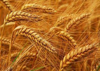 Importações de trigo do Irã até 124% em sete meses