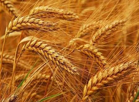 O Irã torna-se exportador de trigo