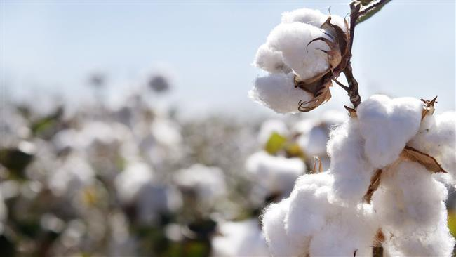 Irã lança primeiro algodão geneticamente modificado