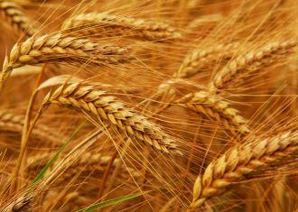 Iran's 8-month wheat imports up 67%