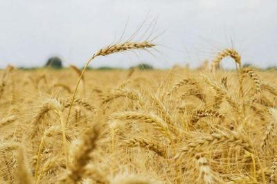 Iran not in need of wheat import