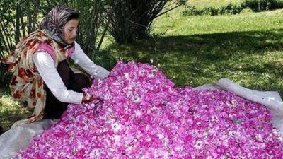 Irã, o maior produtor de água de rosas no mundo