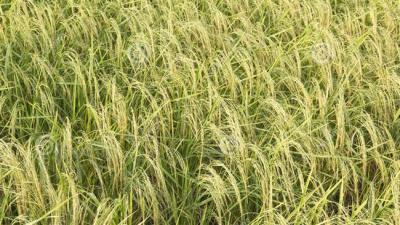 Irã espera uma melhor cultura do arroz, apesar da seca.