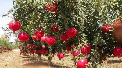 O Irã está em curso para afirmar o seu lugar como o maior produtor mundial de romãs.