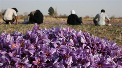Iran establishes saffron bank