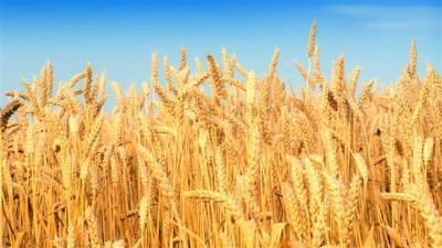 Irã pára importações de trigo, planeja exportações