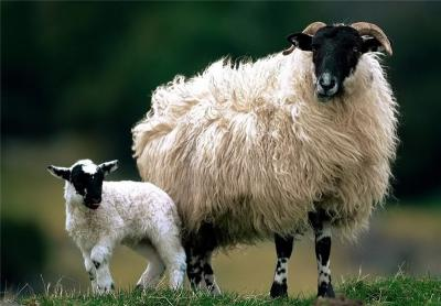 Ireland Signs Deal to Export Sheep Meat to Iran